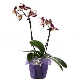 Orchid Blotchy