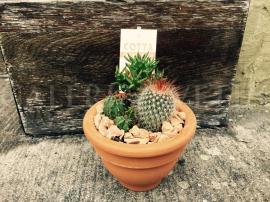 Arrangement - cactus