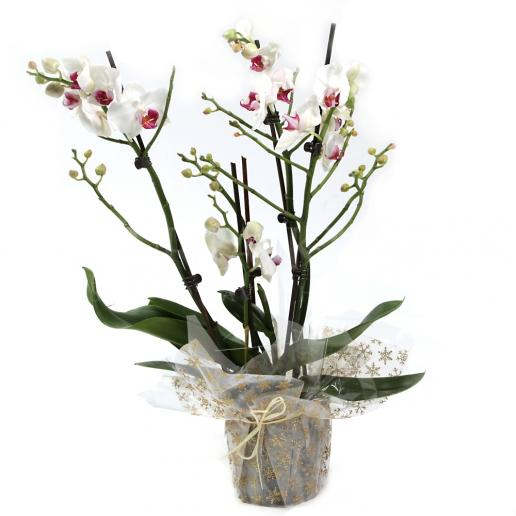 Orchid White