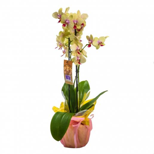 Orchid Yellow