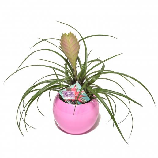 Bromelia pink