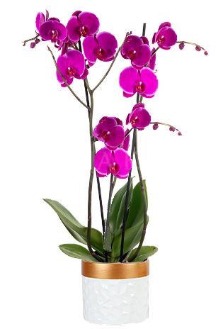 Orchid Magenta